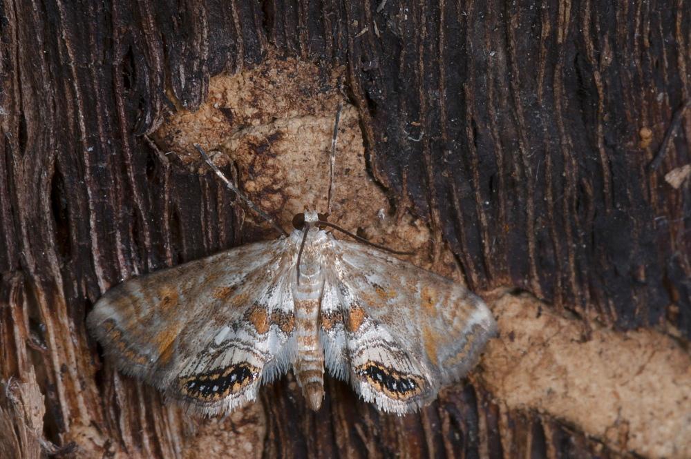 Moth (Heterocera) (Geometridae), North West Bulgaria, Europe *** Local Caption *** Family Geometridae