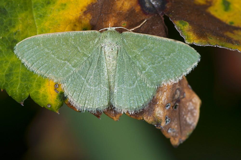 Phaiogramma etruscaria, North West Bulgaria, Europe *** Local Caption *** Family Geometridae;Tribe Hemitheini