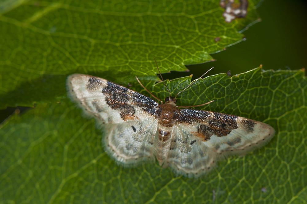 Least carpet moth (Geometridae) (Sterrhinae) (Idaea rusticata), North West Bulgaria, Europe *** Local Caption *** Family Geometridae