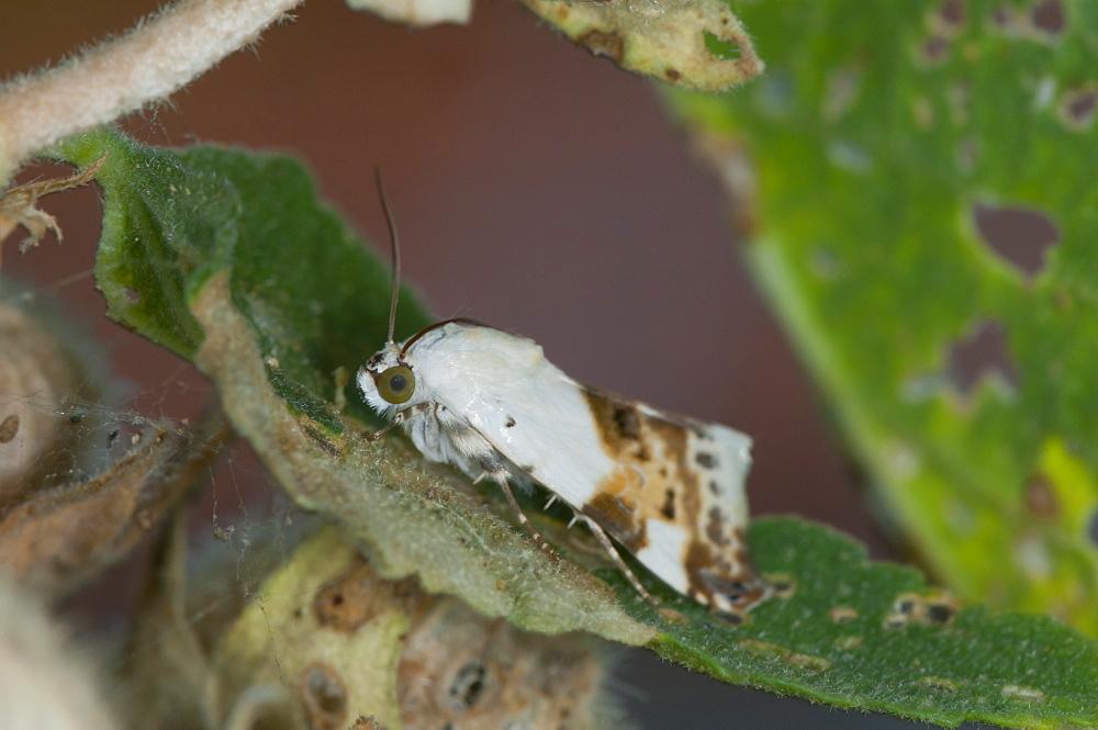 Moth, North West Bulgaria, Europe *** Local Caption *** Family Noctuidae;Sub order Heterocera