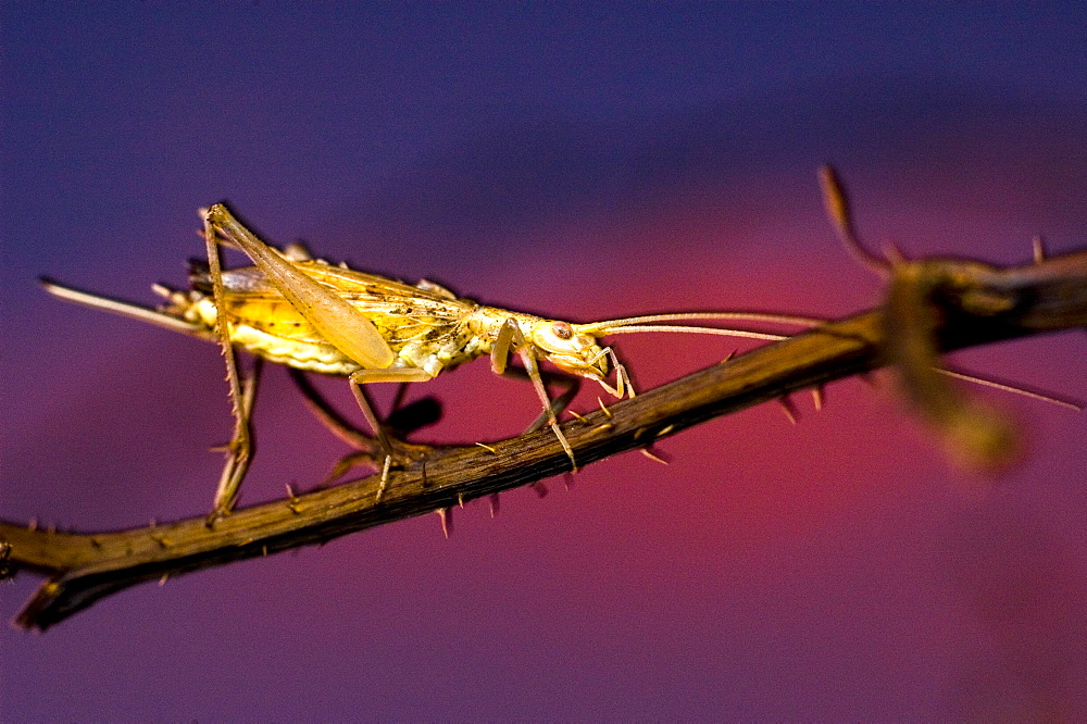 European tree cricket (Oecanthus pellucens);North West Bulgaria;Europe;Slow shutter speed in combination with wirelessly controlled macro flash