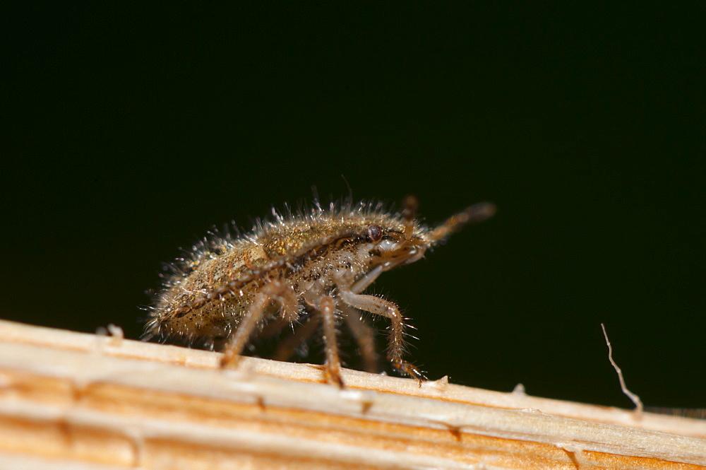 Stink bug nymph (shield bug) (Pentatominae) (Pentatomoidae), North West Bulgaria, Europe