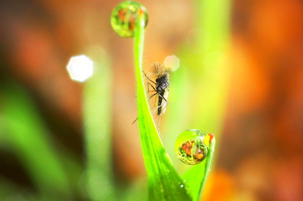 Midge fly (Chronomidae);North West Bulgaria;Europe