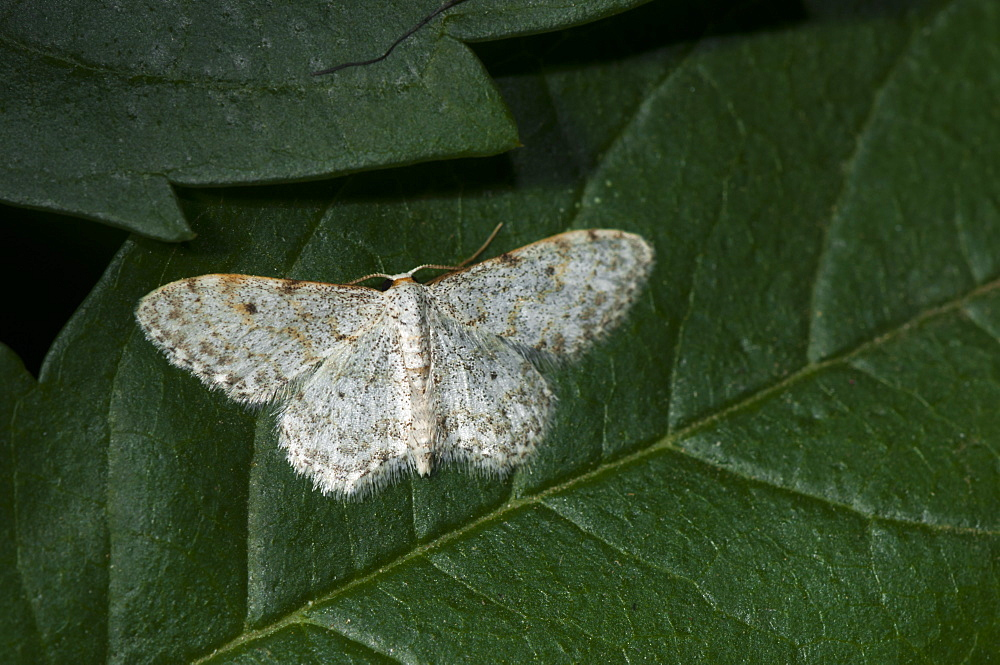 Small dusty wave moth (Idaea seriata), North West Bulgaria, Europe *** Local Caption *** Family Geometridae