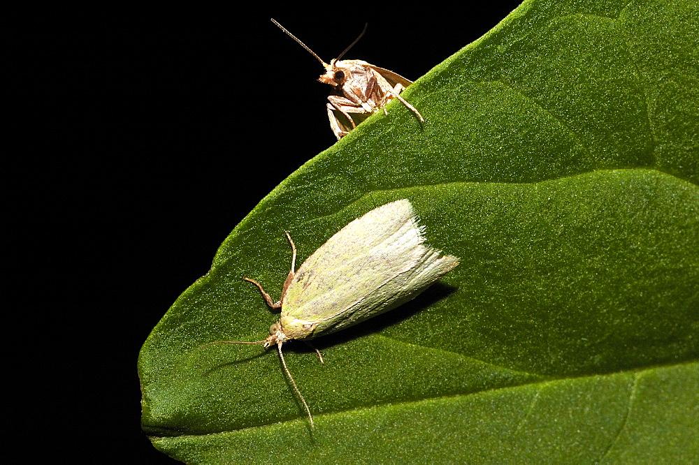 European oak leafroller;Green oak moth (Tortrix viridana);North West Bulgaria;Europe