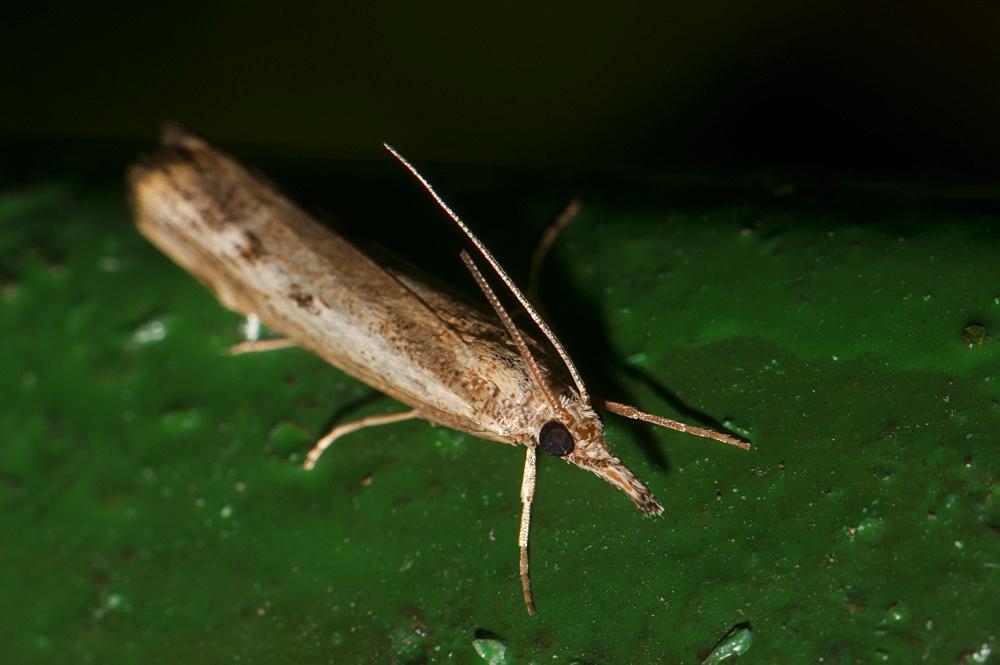 Grass moth (Crambidae), North West Bulgaria, Europe