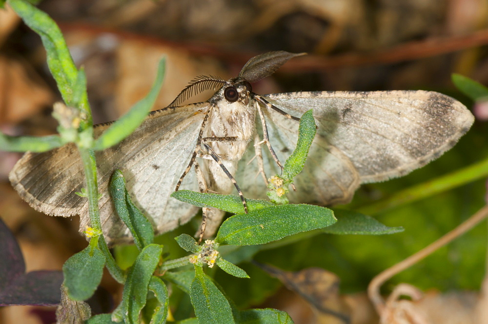 Moth (Heterocera), North West Bulgaria, Europe *** Local Caption *** Family Geometridae