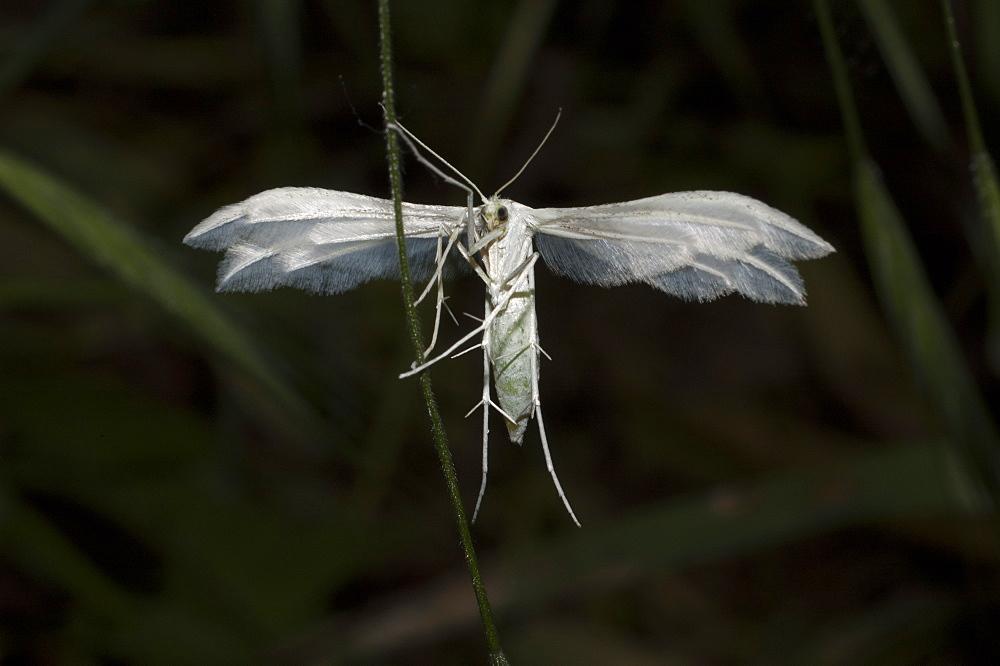 White plume moth (Pterophorus pentadactyla), North West Bulgaria, Europe *** Local Caption *** Family Pterophoridae