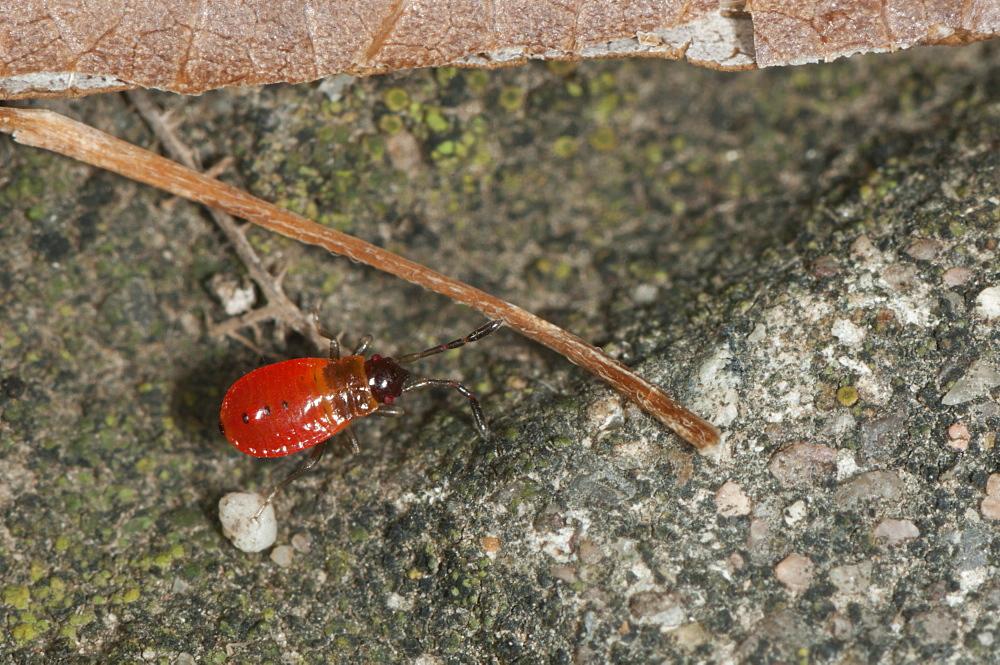 Firebug (Pyrrhocoris apterus) (Pyrrhocoridae), Bulgaria, Europe