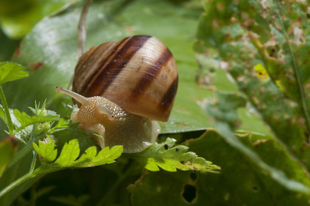 Turkish snail (Helix lucorum), Bulgaria, Europe