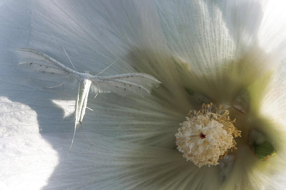 White plume moth (Pterophorus pentadactyla) (Pterophoridae), Bulgaria, Europe