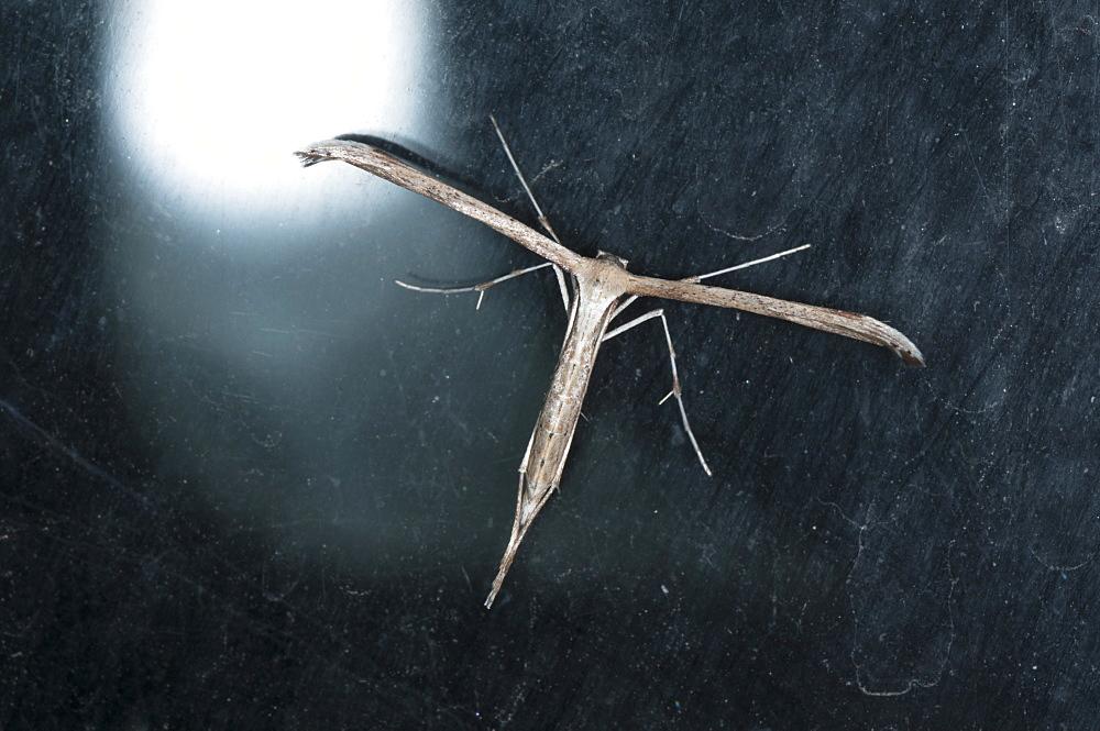 Morning-glory plume moth (T-moth) (Emmelina monodactyla) (Pterophoridae), Bulgaria, Europe