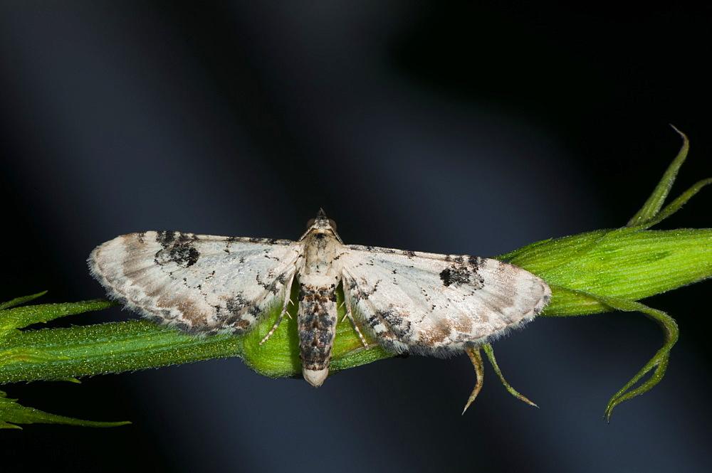 Lime-speck pug (Eupitecia centaureata) (Geometridae) (Larentiinae), Bulgaria, Europe