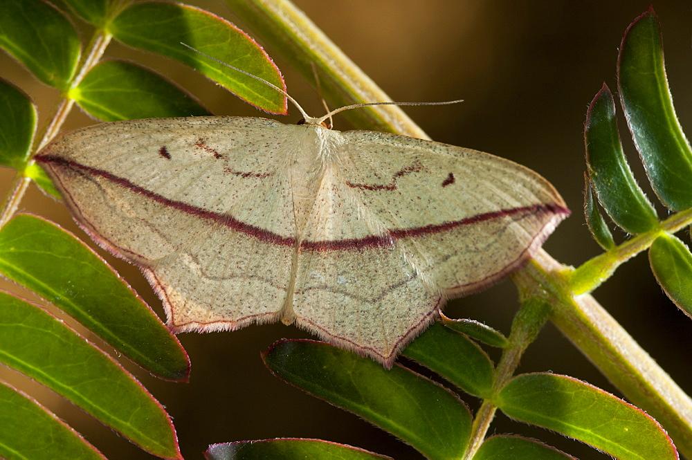 Blood vein (Timandra comae) (Geometridae), Bulgaria, Europe