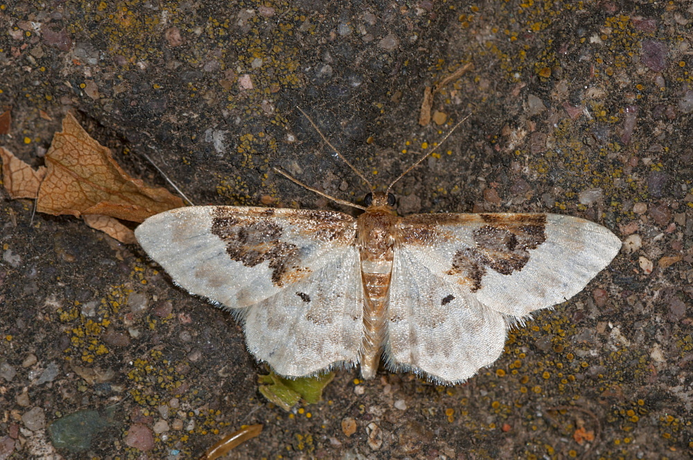 Least carpet (Idaea rusticata) (Geometridae), Bulgaria, Europe