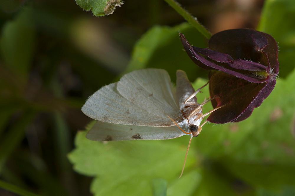 White-pinion spotted (Lomographa bimaculata) (Geometridae), Bulgaria, Europe