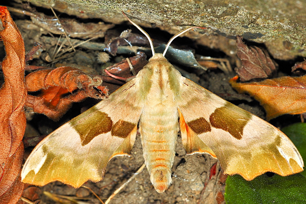 Lime Hawk-moth (Mimas tiliae);North West Bulgaria;Europe