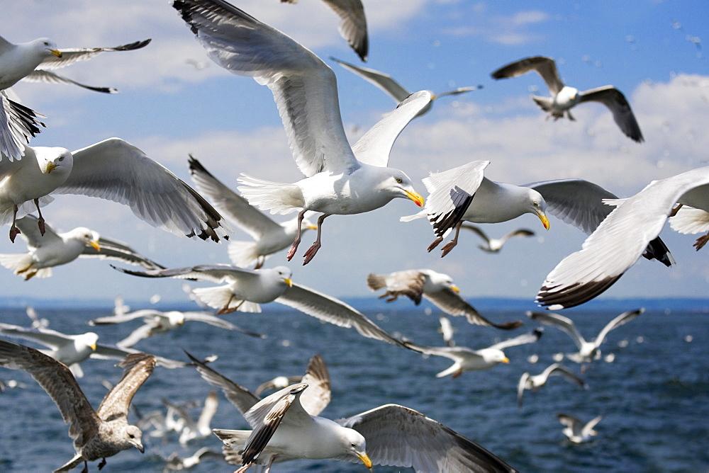 Herring gulls (Larus argentatus) following fishing boat. Firth of Forth off Bass Rock, Scotland, UK