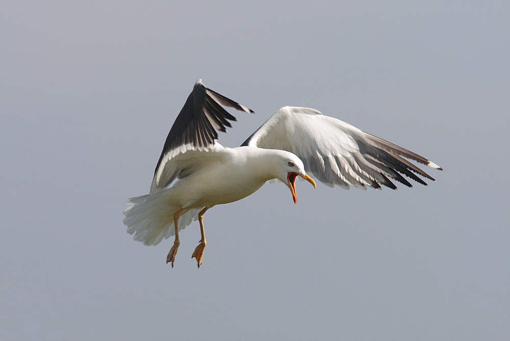 Lesser blackbacked gull (Larus fuscus). UK