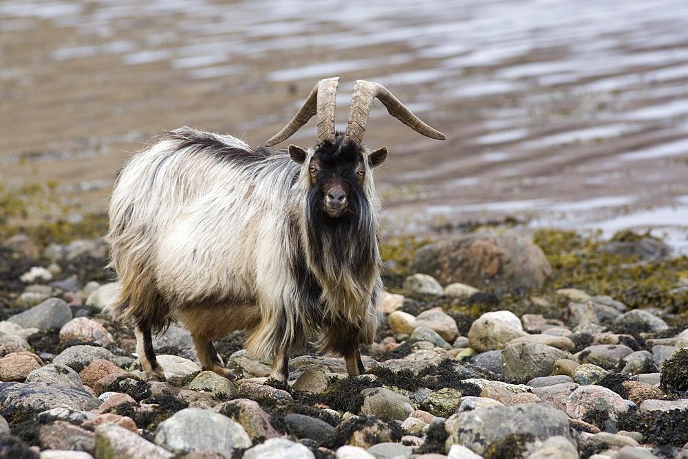 Feral goat (Capra hircus) on seashore. Loch Linnhe, West Scotland
