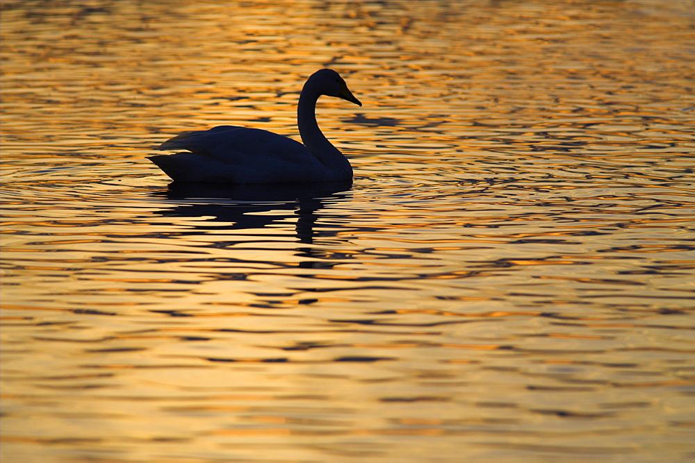 Whooper swan (Cygnus cygnus) in sunset. UK