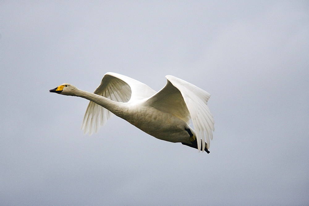 Whooper swan  (Cygnus cygnus) in flight. UK