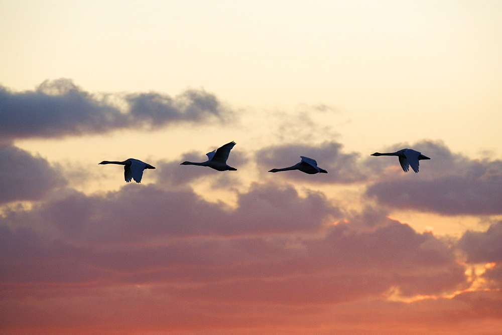 Whooper swans  (Cygnus cygnus) at sunset. UK