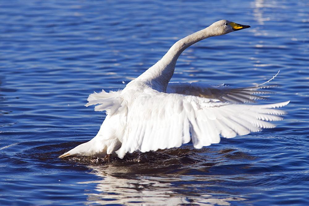 Whooper swan (Cygnus cygnus) stretching wings. UK