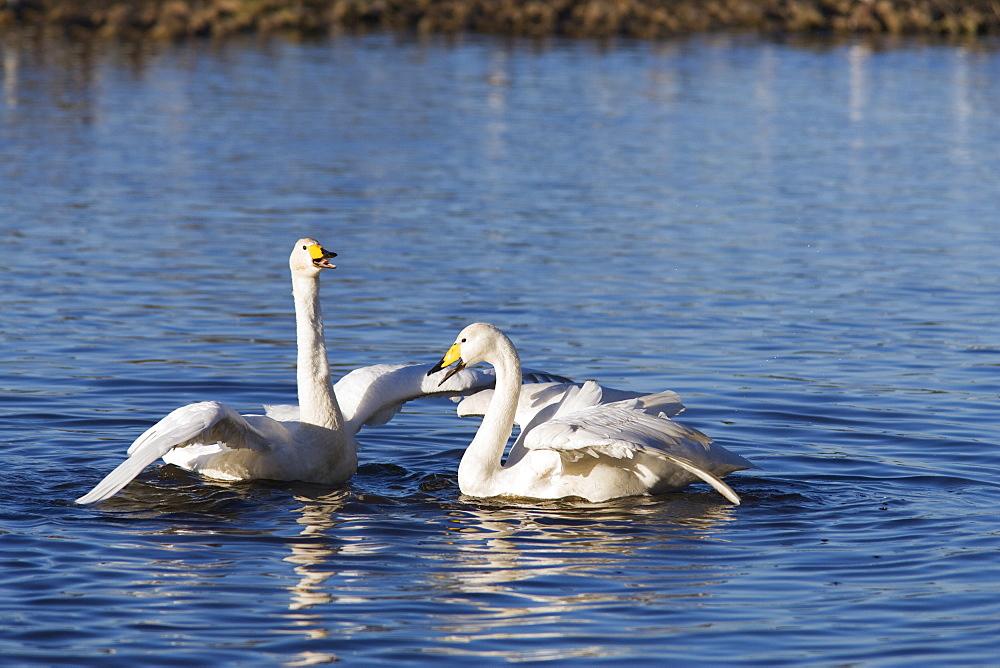 Whooper swans (Cygnus cygnus). UK