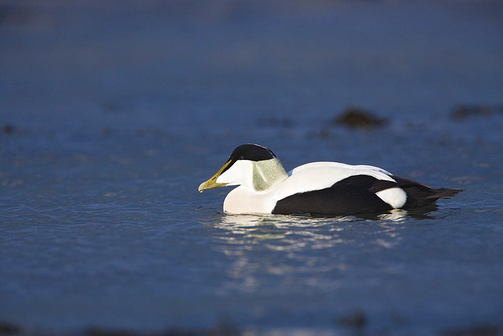 Male eider duck (Somateria mollisima). Northumberland, UK
