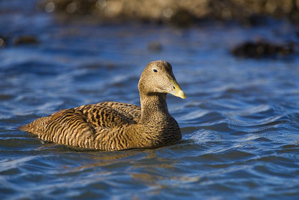 Female eider duck (Somateria mollisima). Northumberland, UK