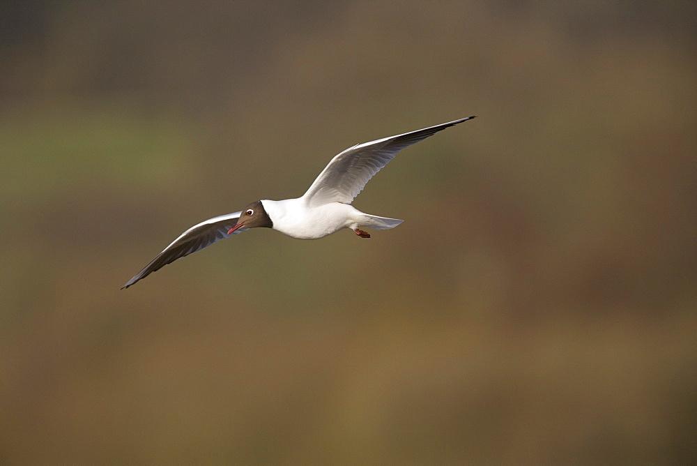 Blackheaded gull (Larus ridibundus) in flight. UK