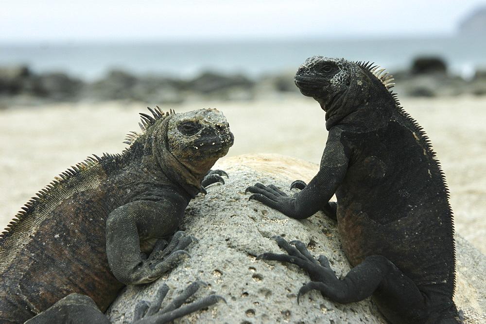 Marine Iguanas. Galapagos.   (RR) - 1004-118