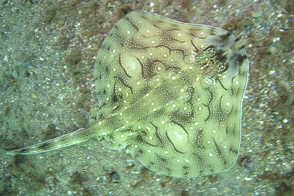 Undulate Ray from above. UK   (RR) - 1004-15