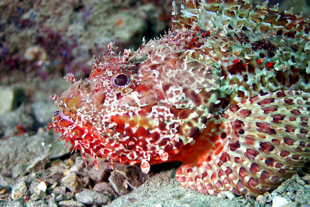 Scorpionfish. Spanish Mediterranean.   (RR)