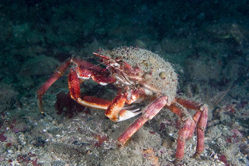 Spiny Spider Crab  Maja squinado - 1004-215
