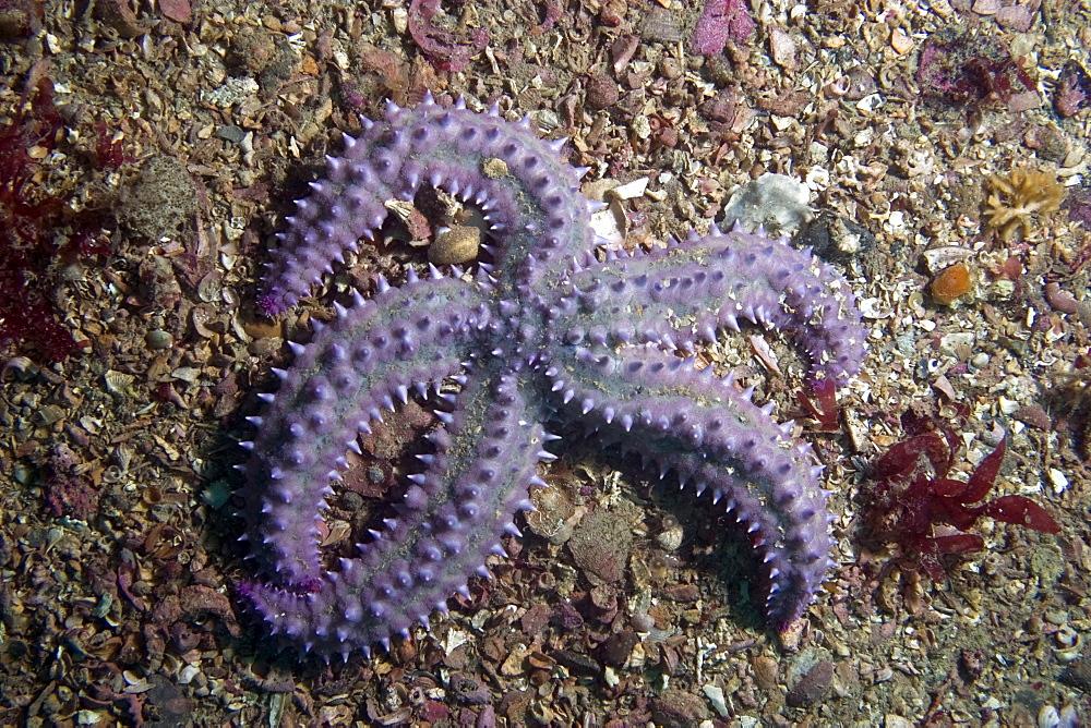 Spiny Starfish   Marthasterias glacialis - 1004-225