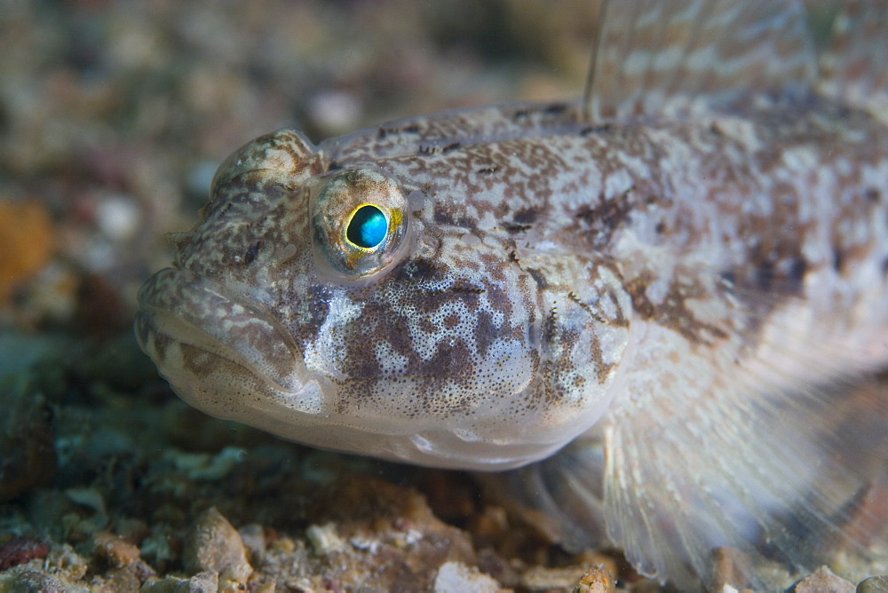 Goby. Sark, Channel Islands