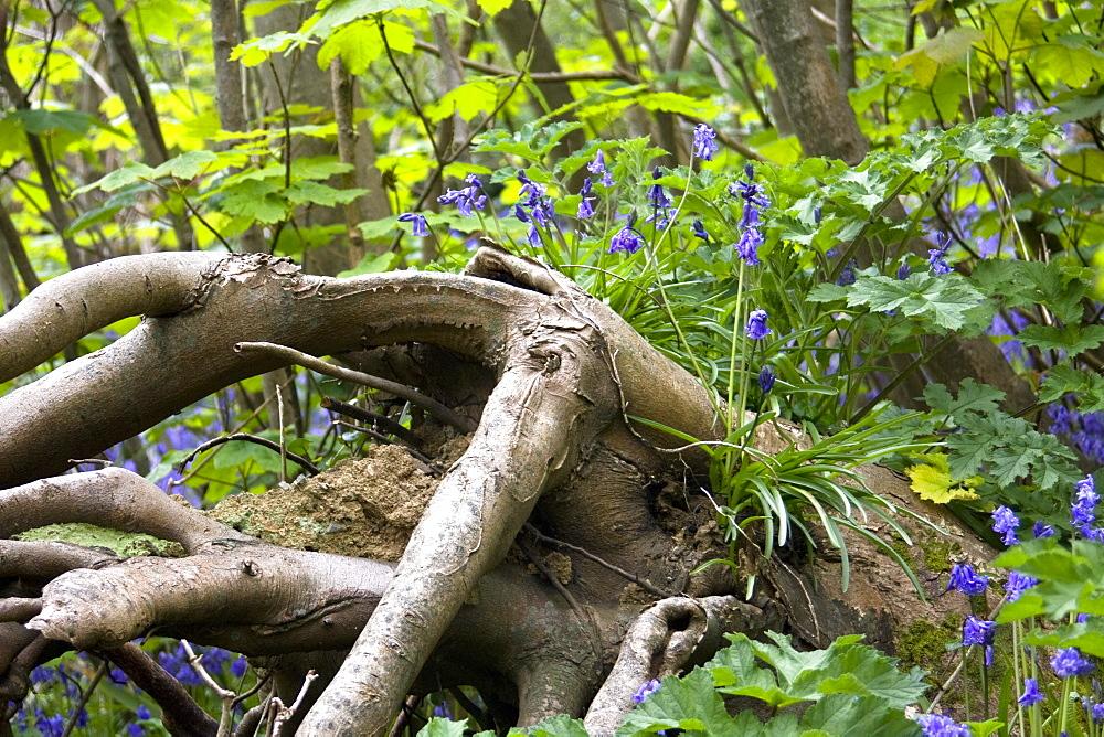 Bluebell (Hyacinthoides non-scripta). Dixcart Woods, Sark, British Channel Islands, UK - 1004-240
