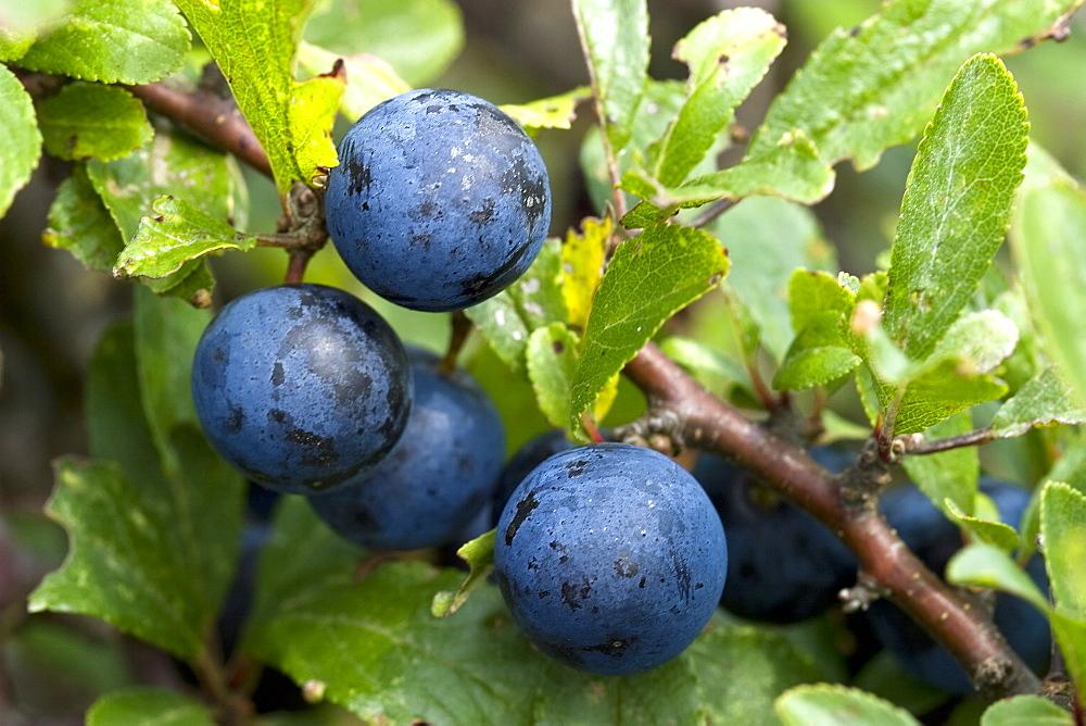 Blackthorn fruit sloes (Prunus spinosa). Sark, British Channel Islands, UK