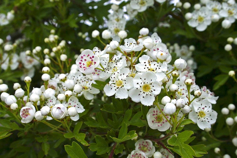 Hawthorn Blossom (Crataegus monogyna). Sark British Channel Islands, UK - 1004-273