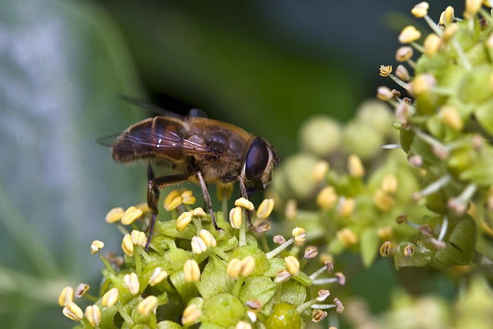 Honey bee (Apis mellifera). Sark, British Channel Islands, UK