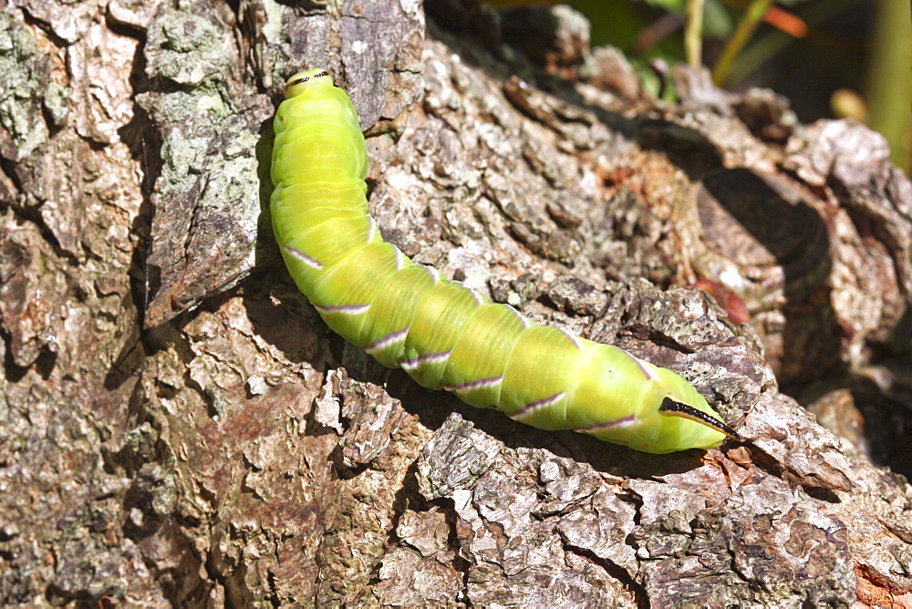 Poplar Hawkmoth caterpillar. Sark, British Channel Islands, UK