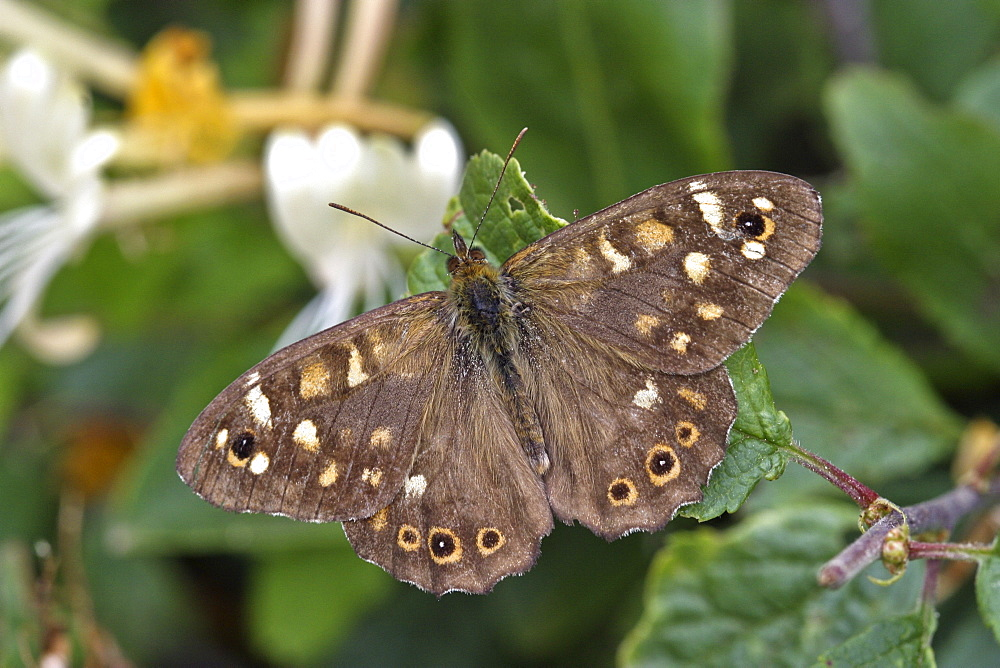 Speckled Wood Butterfly (Pararge aegeria). Sark, British Channel Islands, UK - 1004-319