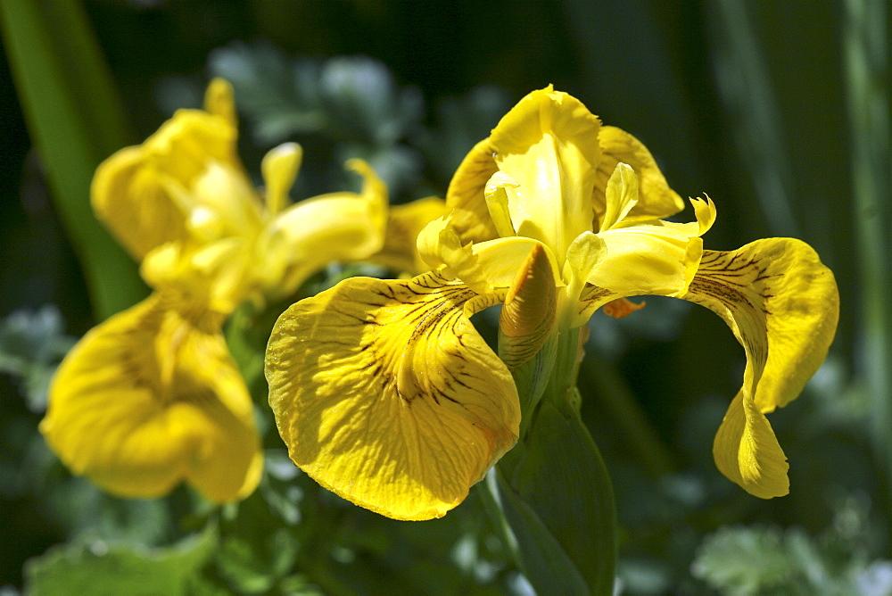 Yellow Iris (Iris pseudacorus). Jersey, British Channel Islands, UK - 1004-337