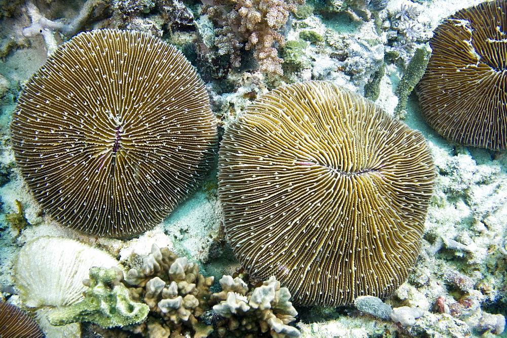 Mushroom Coral Fungi sp.. Gili Islands, Lombok, Indonesia - 1004-348