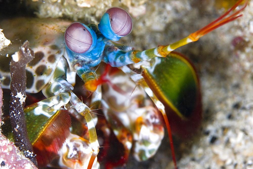 Mantis Shrimp Odontodactylus scyallarus close up. Gili Islands, Lombok, Indonesia - 1004-355