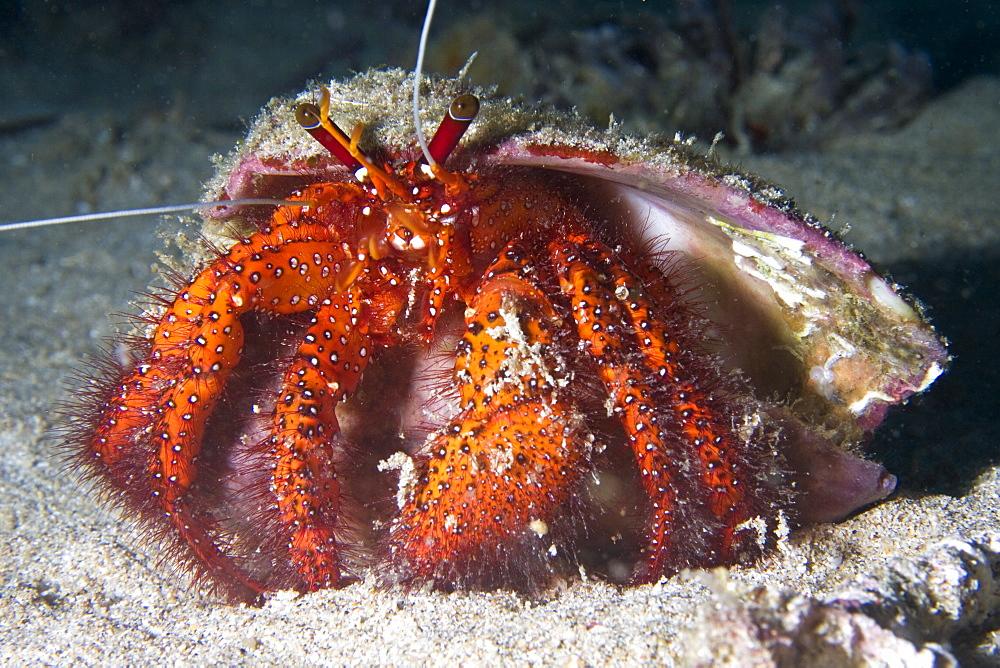 Hermit Crab Dardanus megistos. Gili Islands, Lombok, Indonesia - 1004-364
