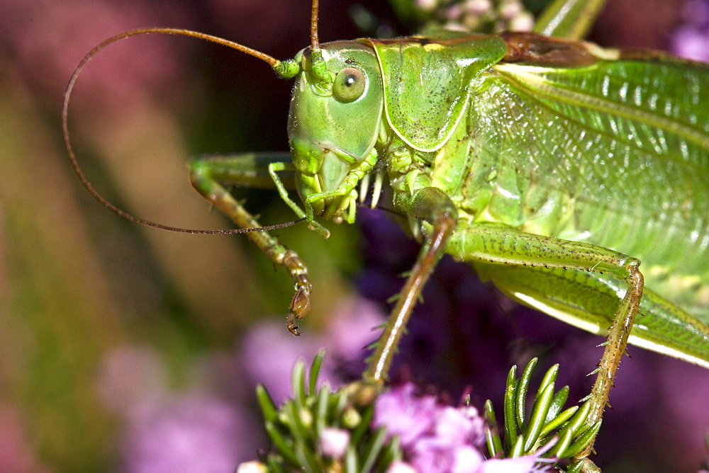 Great Green Bush-cricket Tettigonia viridissima. Sark, British Channel Islands