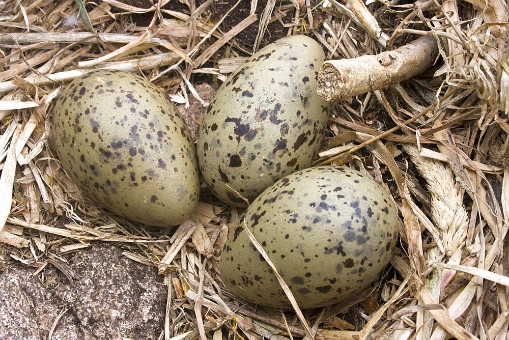 Herring Gull eggs (Larus argentatus). Grande Moie, Sark, British Channel Islands